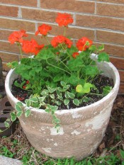 A pot that needs some paint with Geraniums and vinca vine.