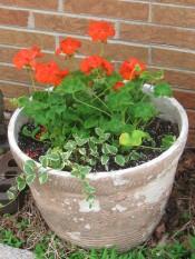 A pot that needs some paint with Geraniums and vinca vine.
