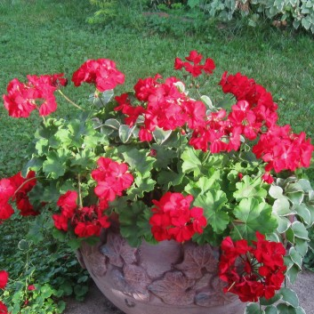 One Red Geranium