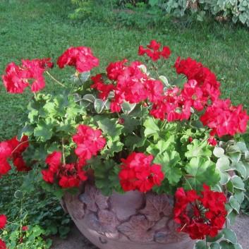 One Red Geranium